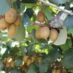 Golden_Kiwifruit_Closeup