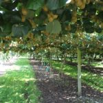 Golden_Kiwifruit